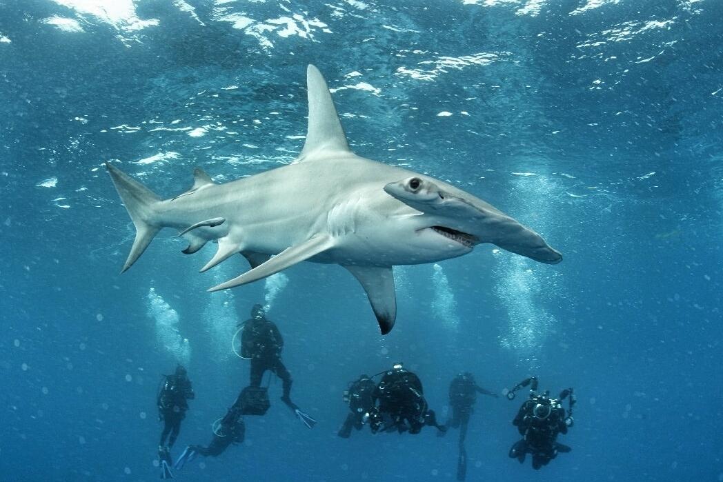 great hammerhead shark