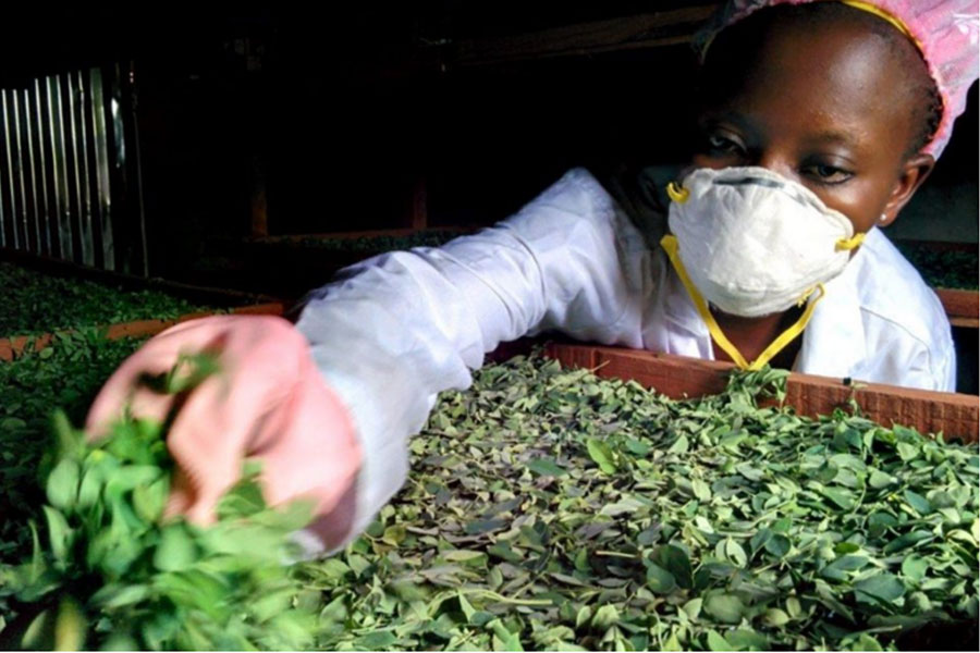 Meet Moringa, The Most Nutrient-dense Plant on The Planet