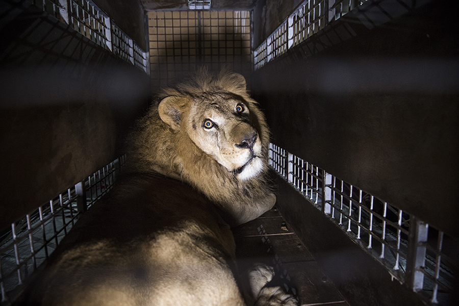 Qatar Airways Cargo Returns Seven Rescued Lions To Their Natural Habitat For Free
